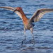 Water Dancer - Reddish Egret