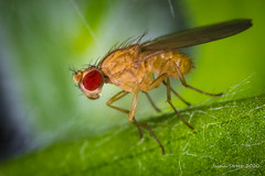 2mm Fruit Fly (strjustin) Tags: fruitfly fly insect bug macro mpe