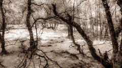 Fairy Glade (prajpix) Tags: wood woods woodland forest trees invernesshire highlands scotland enchanted blackandwhite mono monochrome landscape natural manipulation infrared photoshop filters beautiful