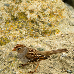 White-crowned Sparrow (j) (phoca2004) Tags: birding z6 nikon sanfrancisco birds sparrow heronsheadpark whitecrownedsparrow zonotrichialeucophrys juvenile california unitedstatesofamerica