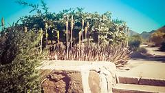 Cactus Garden #2 (jrpopfan) Tags: scottsdale summer exploreeverthing traveling desert travel statue exploration iphone architecture taliesinwest wanderlust franklloydwright summersun arizona