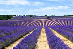 P1140949 (alainazer) Tags: revestdubion provence france fiori fleurs flowers fields champs ciel cielo colori colors couleurs sky lavande lavanda lavender