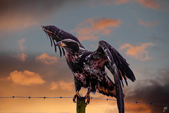 Golden hour? (Keylight1) Tags: eagle keylightxt20 mjk fence barbedwire