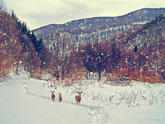 (Alin_B.) Tags: alinbrotea nature winter iarna snow ice cold frozen wild forest woods deer tale wintertale animal