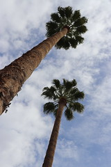 Tucson palms (The Sloths) Tags: tucson arizona cyclingarizona usa us america unitedstatesofamerica unitedstates