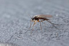 Fungus gnat #1 (Lord V) Tags: macro bug insect fly fungusgnat