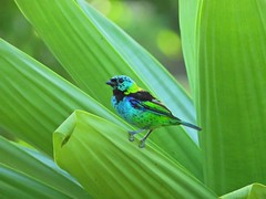 Saíra-sete-cores. (Claudia_Orlanda) Tags: passarinho passarinhos pássaro saírasetecores saíra bird natureza verde colorido beleza ave