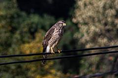Gavilán Azor (_dingrid) Tags: gavilan ave aves pajaro bird nature birds mexico canon