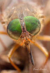 March fly (Tabanidae). (F.Hendre) Tags: fly insect marchfly tabanidae stack closeup macro horsefly greenhead ngc