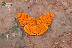 The Intermediate Maplet - แผนที่แดงลายประ (Antonio Giudici Butterfly Trips) Tags: theintermediatemaplet แผนที่แดงลายประ nymphalidae cyrestinae chersonesiaintermediarahrioides thailand chiangmai srilannanationalpark