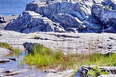 Cliff Walk & More 21 (Adventure George) Tags: acdseephotostudio atlanticocean august backroad beach coast coastline ecosystem flora gulfofmaine hdr highdynamicrangeimage maine nativeamerican naturalworld nature newengland nikond750 northatlantic outdoor photogeorge photoshoot riparianecosystem rockycoast shoreline summer scarborough unitedstatesofamerica proutsneck