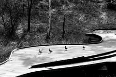 Four Ducks (Erich Schieber) Tags: australia park orangebotanicgarden animal bird duck blackandwhite