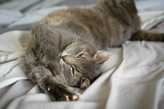 Dexter chilling. (zifide) Tags: cat pets nikon d610 nikkor af 50mm 18d