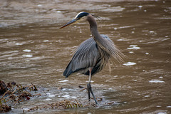 Great Blue Heron (puffadda) Tags: nikon nikkor nature animals birds wild heron