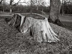 Beautiful stump (Geir Bakken) Tags: fujicags645 stump blackandwhite bw mediumformat film filmisnotdead filmphotography filmcamera filmisalive filminotdead analog analogphotography 120film 120 perfectbeauty