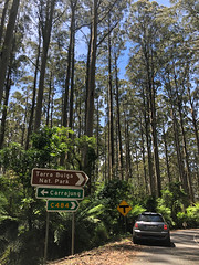 Heading into the Tarra Bulga Nat. Park. Tall trees!! (kram cam) Tags: australia roadtrip newsouthwales victoria beach photo digital iphone