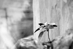 Renewal (OzzRod) Tags: pentax k1 teletakumar300mmf63 seedling garden monochrome blackandwhite pentaxart