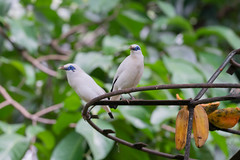 A7R08423 (cpw123) Tags: taman mini bird park tmii jakarta sony a7rii sal70300g laea3 birds burung swan pellican peakcock ducks baby cassowary