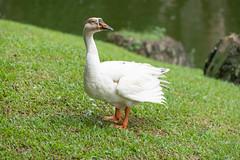 A7R08370 (cpw123) Tags: taman mini bird park tmii jakarta sony a7rii sal70300g laea3 birds burung swan pellican peakcock ducks baby cassowary