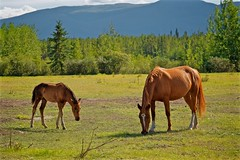 Horses along Mayo Road (MIKOFOX ⌘ 2020 Vision) Tags: mikofox meadow canada xt2 learnfromexif horse summer grass foal august fujifilmxt2 provia showyourexif mountain xf18135mmf3556rlmoiswr