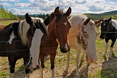 Curious Horses (MIKOFOX ⌘ 2020 Vision) Tags: fence learnfromexif august provia mikofox canada xt2 summer fujifilmxt2 showyourexif horse xf18135mmf3556rlmoiswr
