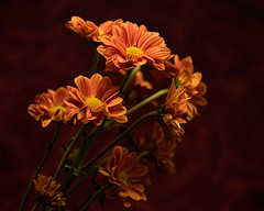 Orange Daisies on Red 1106 (Tjerger) Tags: nature beautiful beauty bloom blooms bunch closeup daisies daisy fall flora floral flower flowers green group macro orange plant portrait red wisconsin yellow redbackground natural blooming black darkbackground flowre