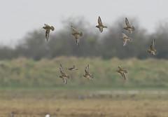 Golden Plover-505226-1 (seandarcy2) Tags: birds waders plover golden goldenplover frampton lincs uk wild wildlife avian