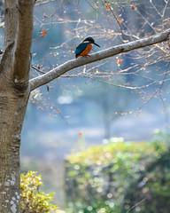 Kingfisher (shinichiro*@Hokkaido-until0217) Tags: 町田市 東京都 日本 20200106ds29047 2020 crazyshin nikonz6 z6 ftz sigma150600mmf563dgoshsmcontemporary winter january tokyo japan jp 薬師池公園 bird birds sspriority isoauto 49442598708 2020茄子の会 9703526 202002esp