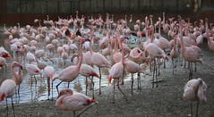 Pink Flamingo's (Andy von der Wurm) Tags: pink rosa flamingo flamingos birds vögel voegel bird vogel nature animal tier schwarm gaiazoo dierenpark tierpark zoo limburg kerkrade niederlande netherlands nederland europa europe andyvonderwurm andreasfucke hobbyphotograph outdoor outside