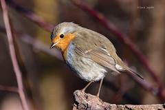 Robin winter 2020 (lucazagolin) Tags: animals bird birds nature robin veneto wildlife