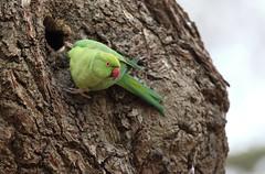 Rose-ringed Parakeet (steve whiteley) Tags: bird birdphotography wildlife wildlifephotography nature roseringedparakeet psittaculakrameri londonwildlife