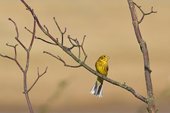Yellowhammer (steve whiteley) Tags: bird birdphotography wildlife wildlifephotography nature yellowhammer emberizacitrinella