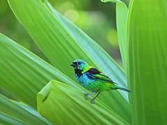 Saíra-sete-cores. (Claudia_Orlanda) Tags: aves ave passarinhos passarinho pássaro saírasetecores saíra birds bird