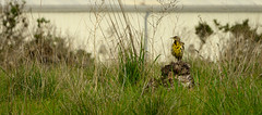 Western Meadowlark (phoca2004) Tags: sturnellaneglecta birds birding z6 nikon sanfrancisco meadowlark westernmeadowlark california unitedstatesofamerica