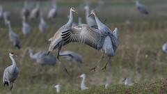 """Boing"" (Paul McGoveran) Tags: bird nature wings sandhillcrane bif birdinflight longpoint norfolkcounty nikon500mmf4 nikond850 coth5 specanimal"