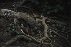 20190616-1DX29406 (siddharthx) Tags: 1dxmkii 2019 aseanheritagepark atiwichball badlight bankrangcamp beautifulbirds bird birdwatching birding birdinginthewild birds birdsinthewild canon canon1dxmkii canon7dmkii closerange columbia ef100400mmf4556lisiiusm ef1635f4lis hidephotography hides huaimaepriang june2019 kaengkrachan kaengkrachandistrict kaengkrachannationalpark kesslercrane lowlight mountains myanmarthailandborder nationalpark padungcamp phetchaburi phetchabuririver pranbuririver promediagearkatanajr promediageartr424lpmgprostix sachtler sunrise sunset tamron150600mmf563divcusdg2 thailand tropicalrainforest wild wildbirds wildlife wimberleylensplates animalfanatics naturephotography quechua wildlifecaptures wildlifeinspired wildlifeperfection wildlifecentral wildlifephotography wildlifeseekers kalijpheasant pheasant