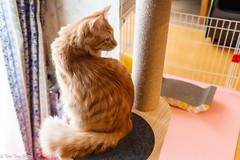 Nao visits Tokyo again 2020 Winter (shui.sa) Tags: nao muntikin cats 2020 tokyo japan pentax k1ii tamron a09
