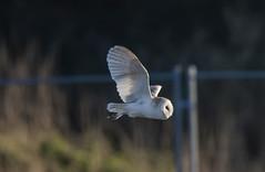 Barn Owl-5051984-1 (seandarcy2) Tags: owl barn barnowl wildlife wild handheld owls raptors birdsofprey norfolk uk