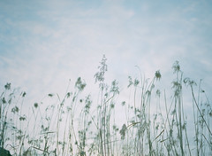 to tremble gently in the wind (Kenji Kitae) Tags: wind grass plant green field nature lifestyle lifework location landscape life live hiroshima japan earth film filmcamera pentax645n fuji400hpro