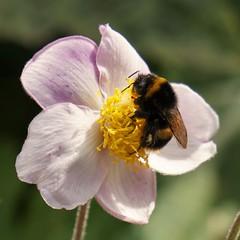 DSC06029 (2) (tonywinward2) Tags: bee bumble north yorkshire richmond flower wildlife northern england uk united kingdom britain great british pollen summer