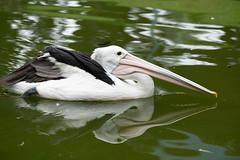 A7R08424 (cpw123) Tags: taman mini bird park tmii jakarta sony a7rii sal70300g laea3 birds burung swan pellican peakcock ducks baby cassowary