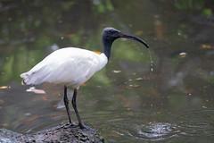 A7R08393 (cpw123) Tags: taman mini bird park tmii jakarta sony a7rii sal70300g laea3 birds burung swan pellican peakcock ducks baby cassowary