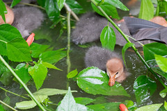 A7R08490 (cpw123) Tags: taman mini bird park tmii jakarta sony a7rii sal70300g laea3 birds burung swan pellican peakcock ducks baby cassowary