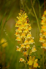 Yellow Toadflax, Butter & Eggs [Linaria vulgaris] (MIKOFOX ⌘ 2020 Vision) Tags: mikofox canada xt2 learnfromexif insect summer coloryellow wildflower august fujifilmxt2 showyourexif flower provia xf18135mmf3556rlmoiswr