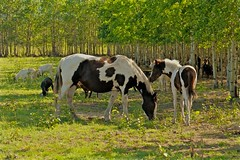 Staying Close to Mom (MIKOFOX ⌘ 2020 Vision) Tags: mikofox canada xt2 learnfromexif horse summer grass goats aspen foal august provia meadow fujifilmxt2 showyourexif xf18135mmf3556rlmoiswr
