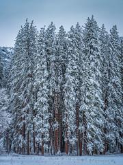 Yosemite National Park Winter Snow Snowstorm! Fuji GFX100 Fine Art Landscape Nature Photography! Dr. Elliot McGucken Medium Format Master Fine Art Photographer dx4/dt=ic Fujifilm GFX 100 & Fujinon GF Lens! (45SURF Hero's Odyssey Mythology Landscapes & Godde) Tags: fuji gfx100 fine art landscape nature photography dr elliot mcgucken medium format master photographer dx4dtic fujifilm gfx 100 fujinon gf lens yosemite national park winter snow snowstorm
