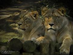 Sister's (Through-my-eyes.) Tags: lion lioness portrait animal carnivores wild wildanimals cats feline bigcats zoo
