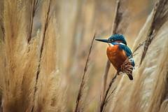 Martin-pêcheur 😍 (Petite_Fleur_83) Tags: martinpecheur kingfisher france var oiseau bird birdphotography birdlovers naturephotography beautynature nature