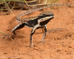 Central Military Dragon (Ctenophorus isolepis) (Akash Samuel Melbourne) Tags: central military dragon ctenophorus isolepis gawler ranges sa south australia akash samuel reptile colourful beautiful