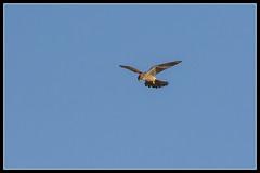 IMG_0141 Kestrel (Scotchjohnnie) Tags: kestrel falcotinnuculus birdofprey ornithology bird birdphotography birdwatching ukbirds birdinflight wildlife wildlifephotography wildanimal wildandfree nature naturephotography canon canoneos canon7dmkii canonef100400f4556lisiiusm scotchjohnnie